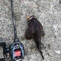 ボマイエさんの青森県八戸市での釣果写真