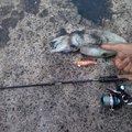 阿万さんの山口県宇部市での釣果写真