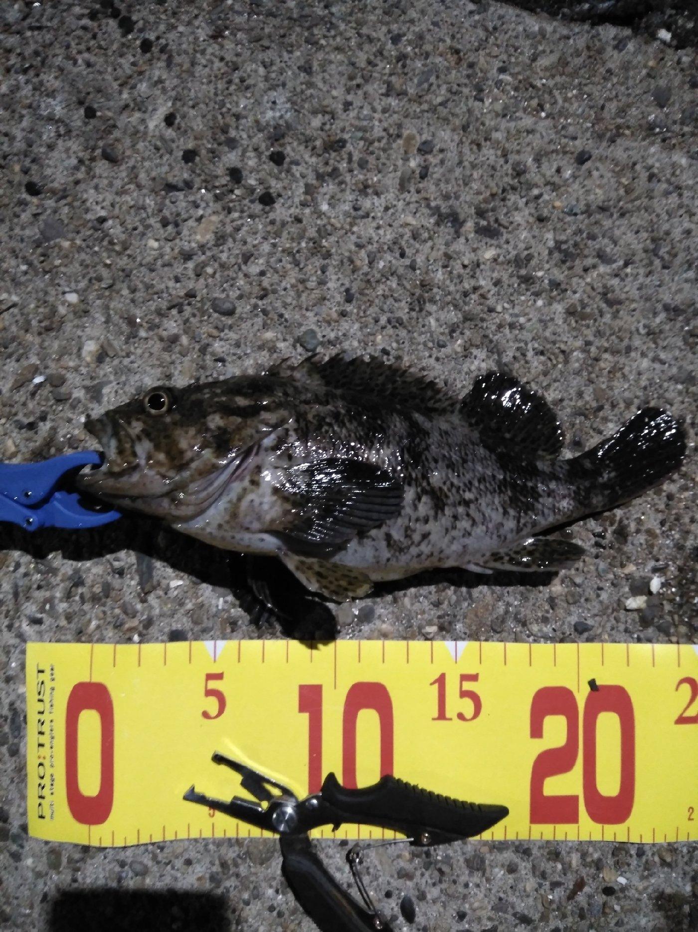 アブさんの投稿画像,写っている魚はタケノコメバル