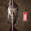 かっきーさんの福岡県行橋市での釣果写真