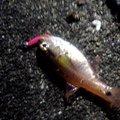 わたさんの三重県松阪市での釣果写真