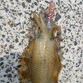 四谷一郎さんの山口県長門市でのアオリイカの釣果写真