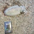 えびったさんのコウイカの釣果写真
