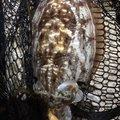 タイさんのコウイカの釣果写真