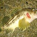 カチュアさんの北海道枝幸郡での釣果写真