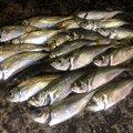 ヨシハラさんの山口県大島郡でのアジの釣果写真