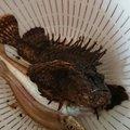 セブンさんの青森県西津軽郡での釣果写真