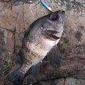 ミッツさんの新潟県三島郡でのメバルの釣果写真