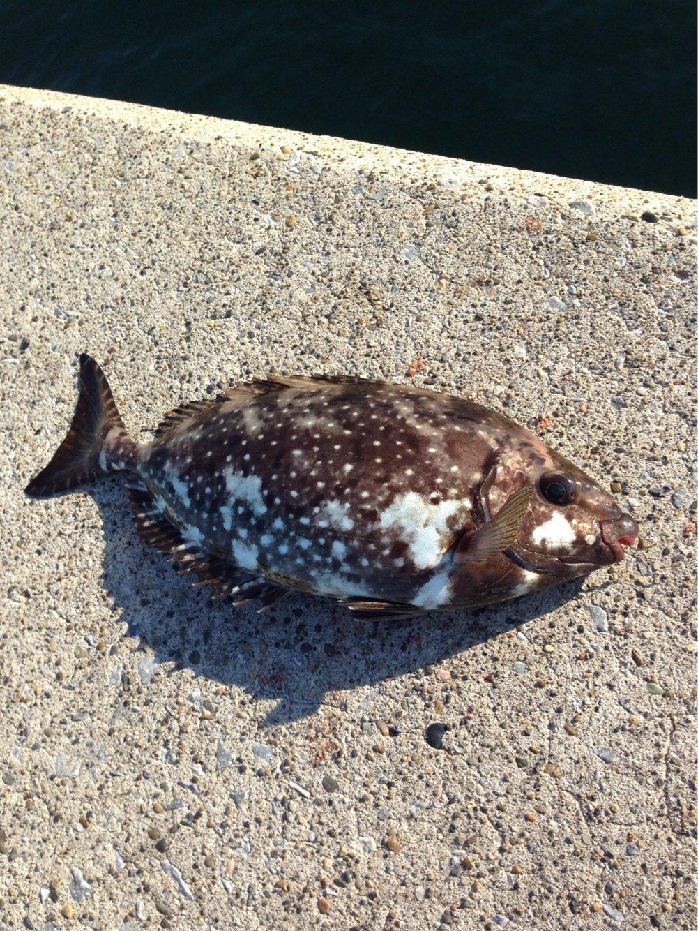 梅吉さんの投稿画像,写っている魚はアイゴ