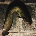 ねるまさんの滋賀県野洲市での釣果写真