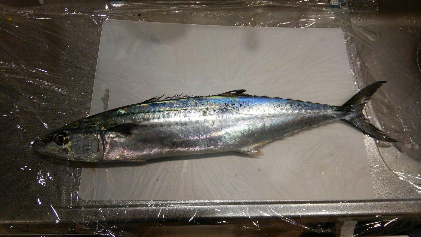 てつやさんの投稿画像,写っている魚はサワラ