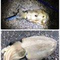 tyuki さんの三重県尾鷲市でのコウイカの釣果写真