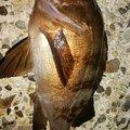 穴吹あきひろさんの香川県でのメバルの釣果写真
