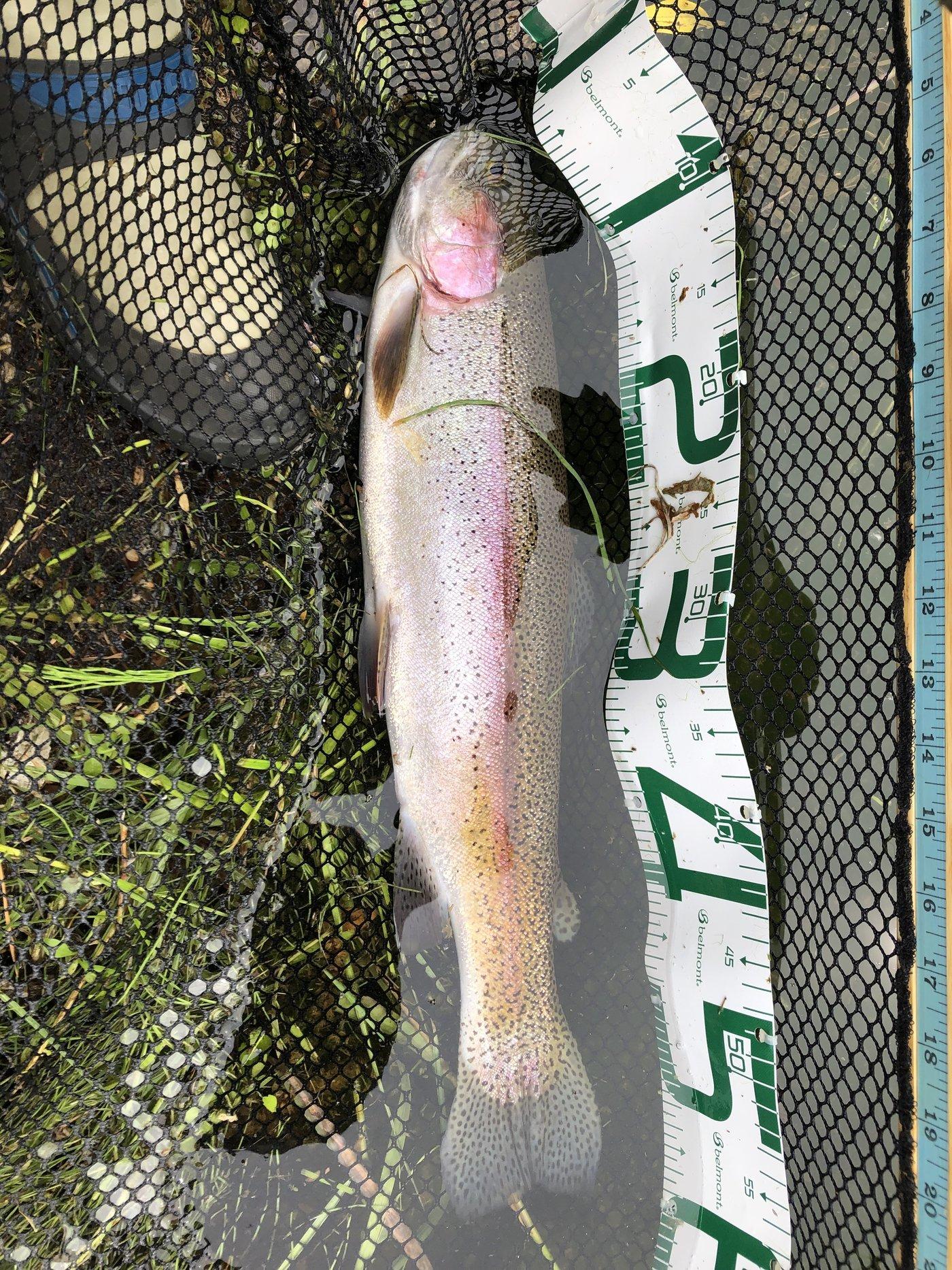シーアツさんの投稿画像,写っている魚はニジマス
