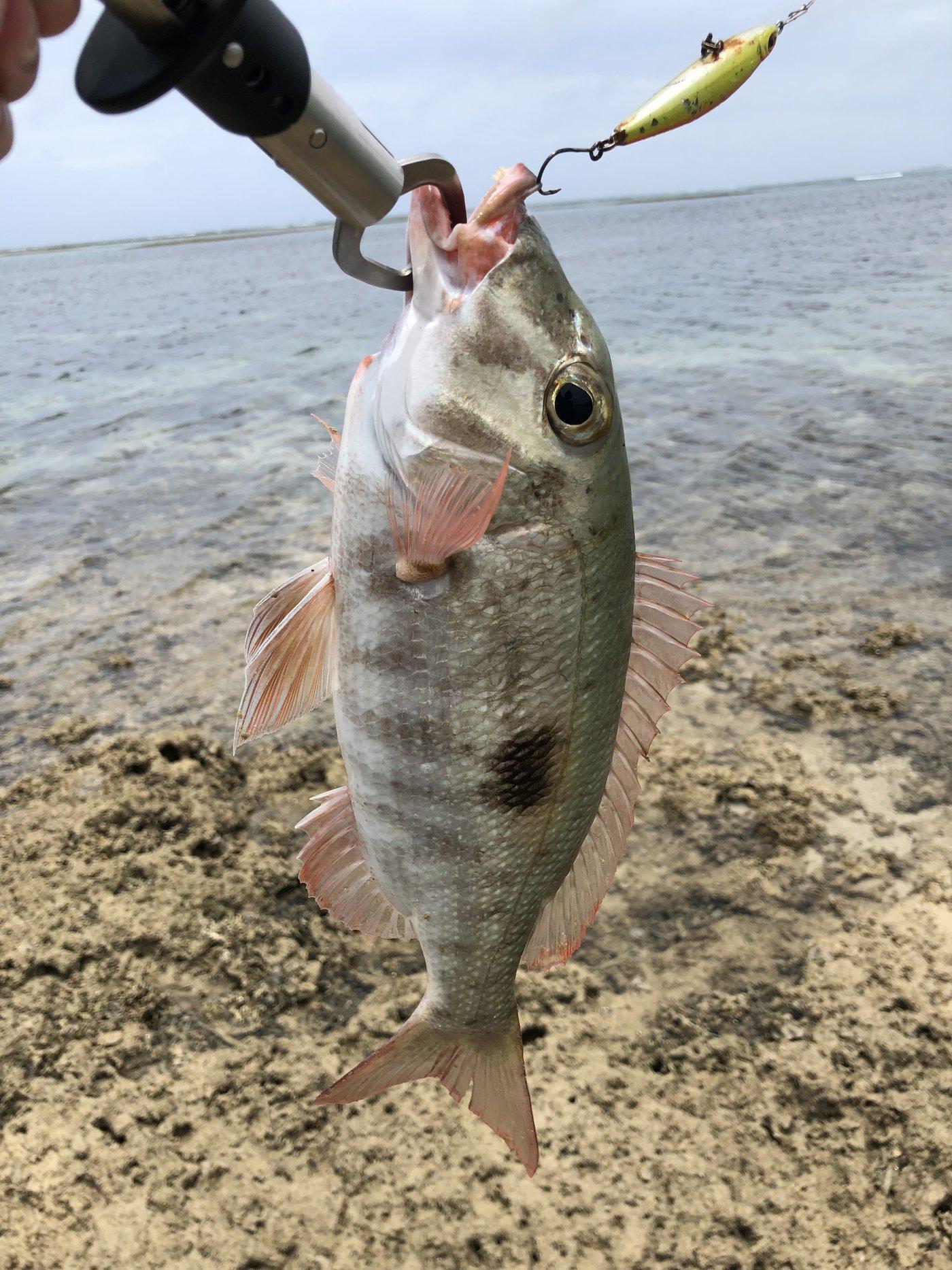 タマキさんの投稿画像,写っている魚はフエフキダイ