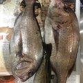 なべっちさんの青森県でのアイナメの釣果写真