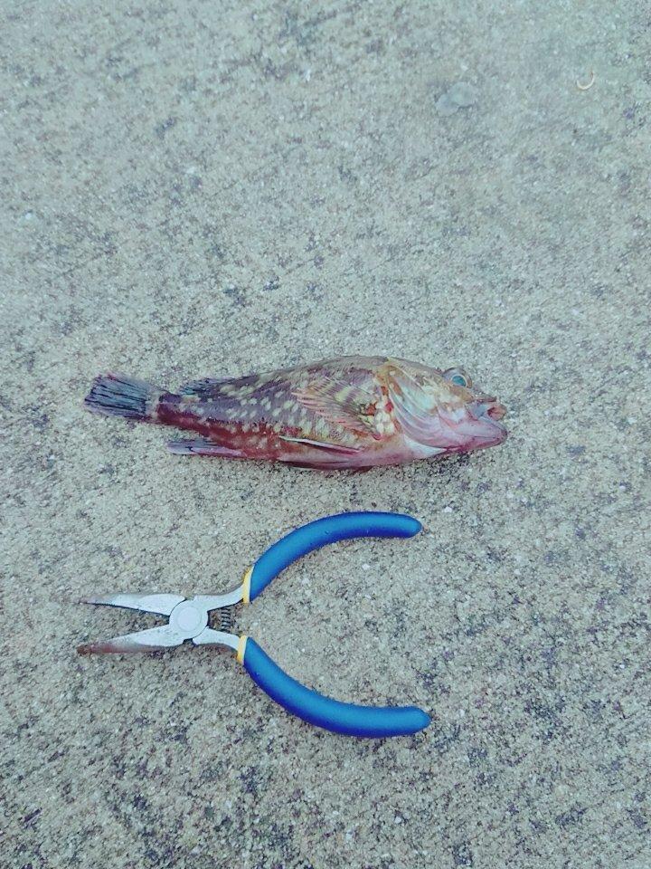 ごんごんさんの投稿画像,写っている魚はアイナメ,カサゴ,メバル
