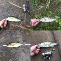 SHUN  TSUZUKIさんの埼玉県での釣果写真