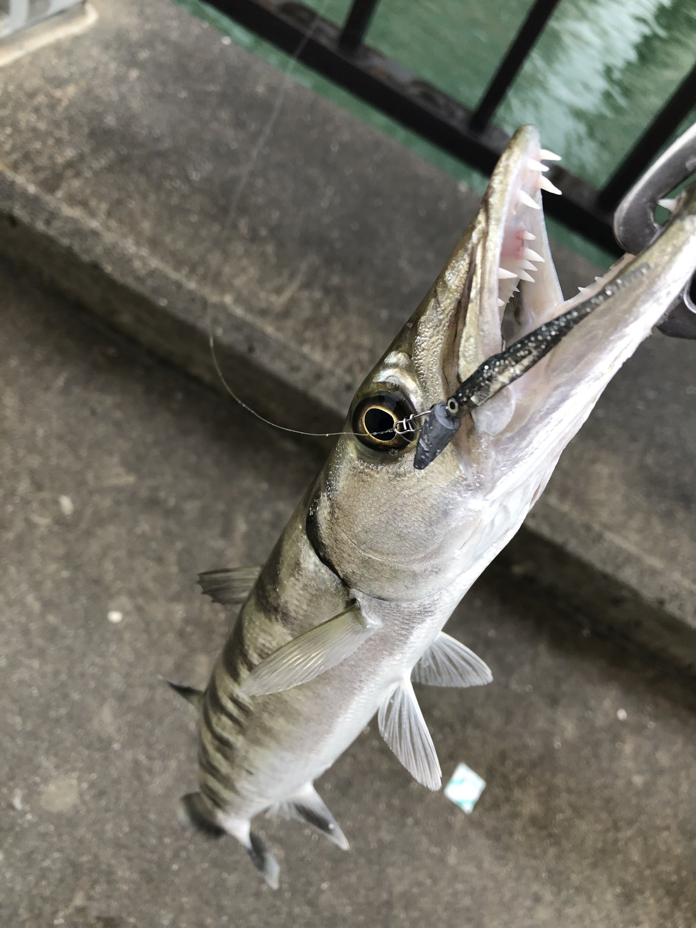 yoshiさんの投稿画像,写っている魚はオニカマス