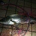 Harryさんの長崎県壱岐市でのヒラスズキの釣果写真