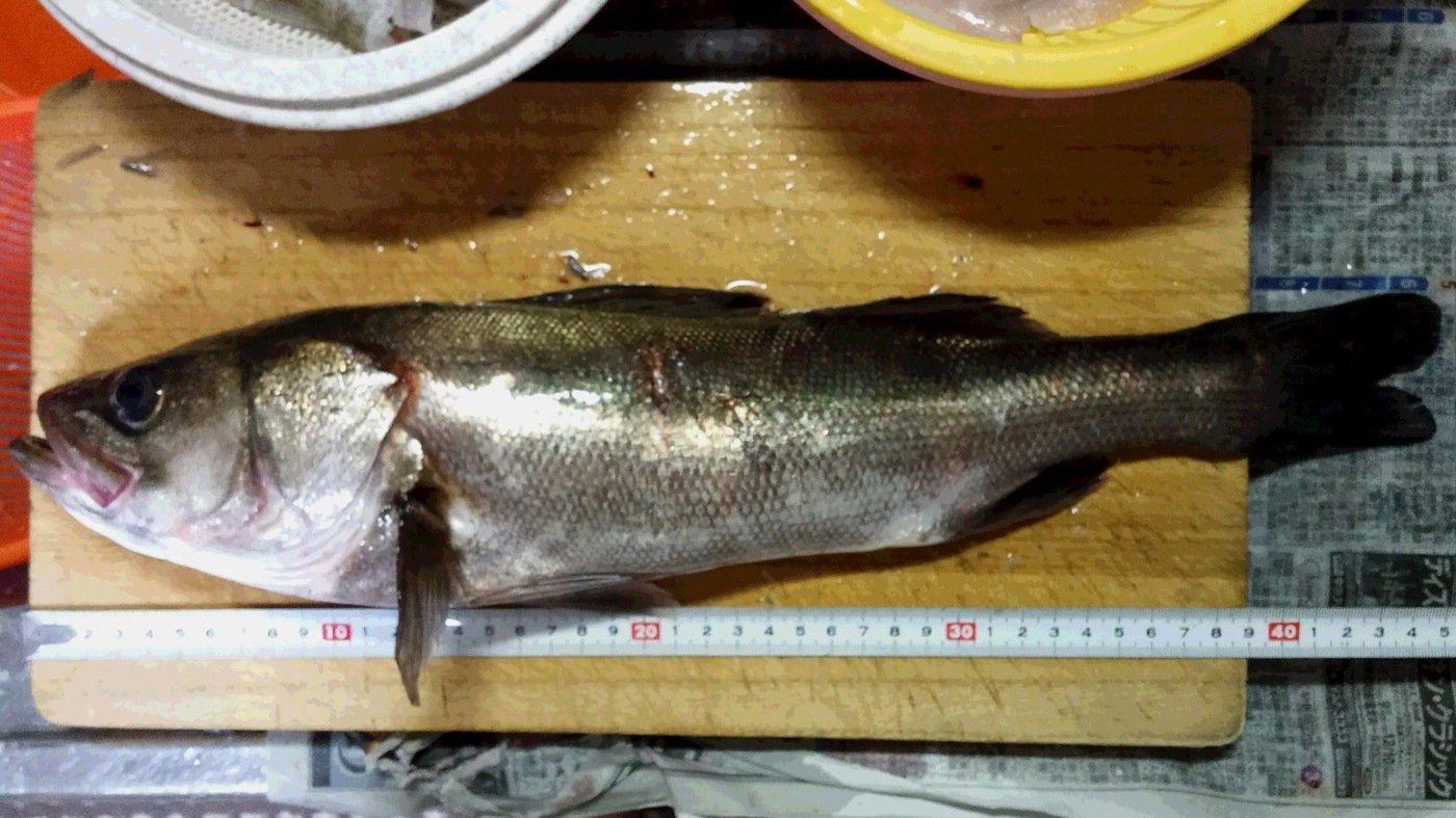 勇釣会*HIROさんの投稿画像,写っている魚はスズキ