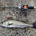 ししゃもえなじーさんの石川県羽咋郡での釣果写真