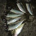 かずさんの石川県七尾市での釣果写真