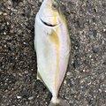 ギンポ野郎さんの和歌山県有田市での釣果写真