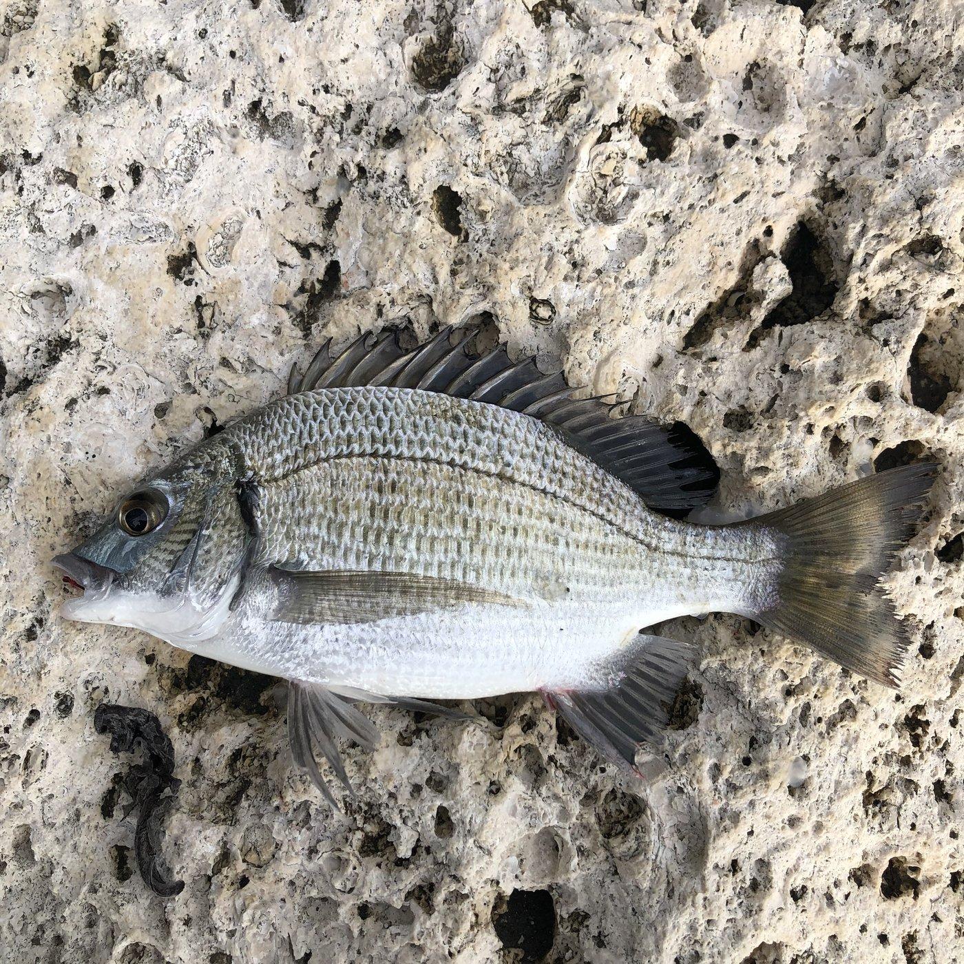 ムッシューむらむらさんの投稿画像,写っている魚はクロダイ
