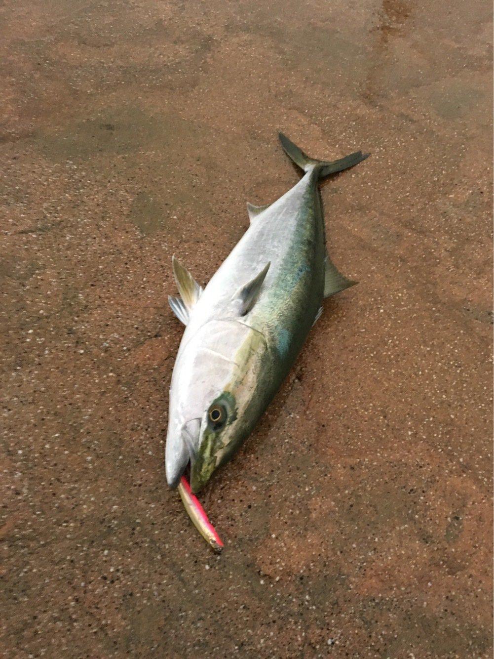 クモ助さんの投稿画像,写っている魚はブリ