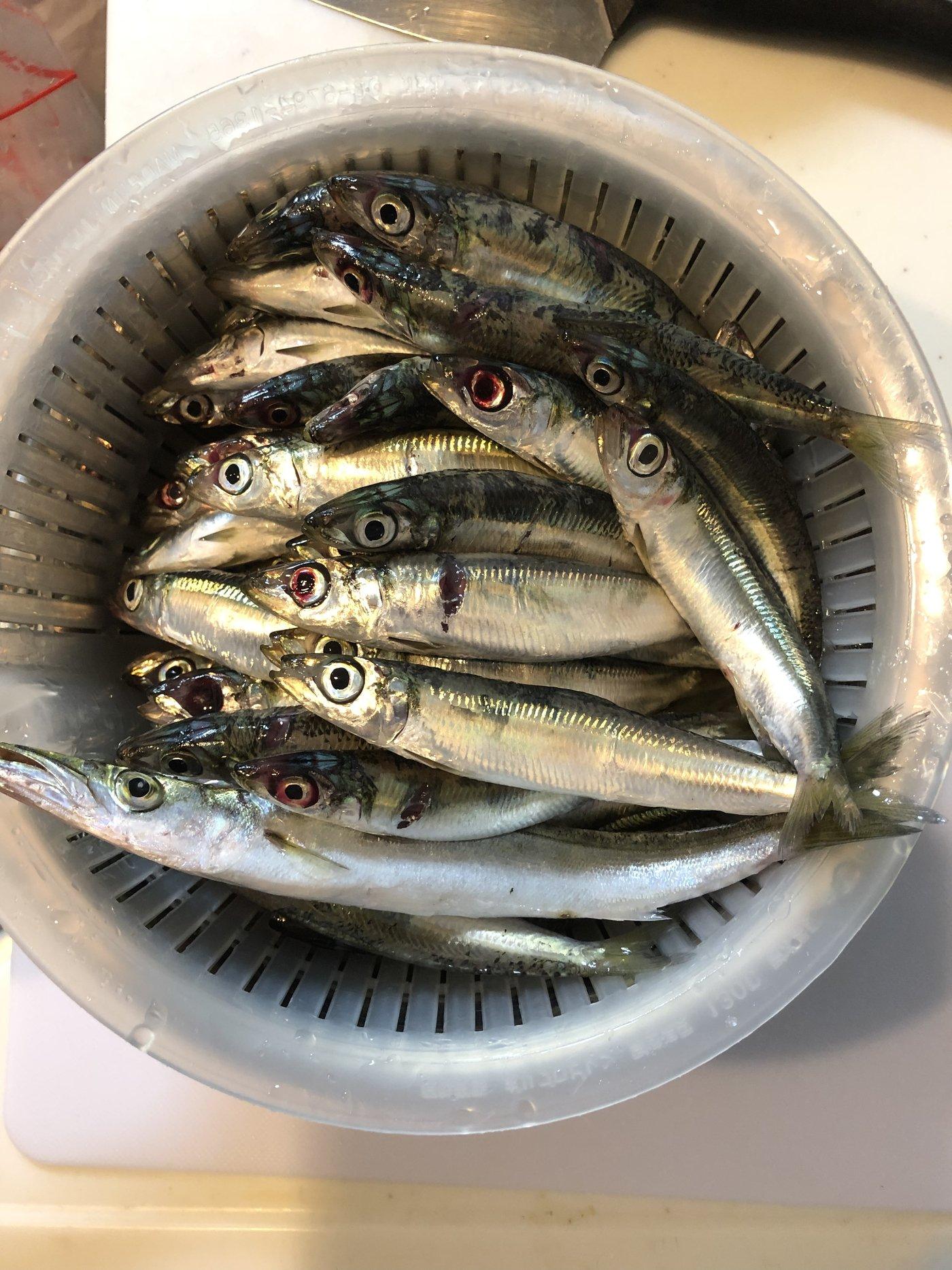 まるわたろうさんの投稿画像,写っている魚はウルメイワシ,カマス