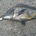 まるさんさんの広島県でのクロダイの釣果写真