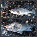 へちょさんの北海道でのキツネメバルの釣果写真