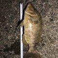 ムキムキ釣ジャンキーさんの高知県での釣果写真