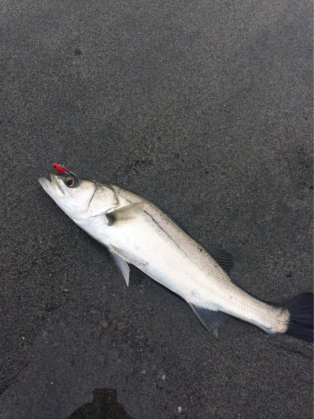 さかなやさんの投稿画像,写っている魚はスズキ
