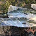 シーアツさんの北海道奥尻郡での釣果写真