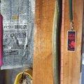 勇釣会 勇さんのウナギの釣果写真