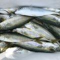 ちび。さんの高知県での釣果写真