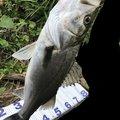 中トロさんの新潟県阿賀野市での釣果写真