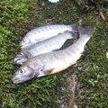 オミさんの岐阜県飛騨市での釣果写真
