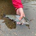 ちゃんころさんの北海道函館市での釣果写真