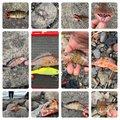 磯ROCK魂 直也さんの静岡県沼津市でのオオモンハタの釣果写真