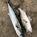 ゆうじさんの石川県かほく市での釣果写真