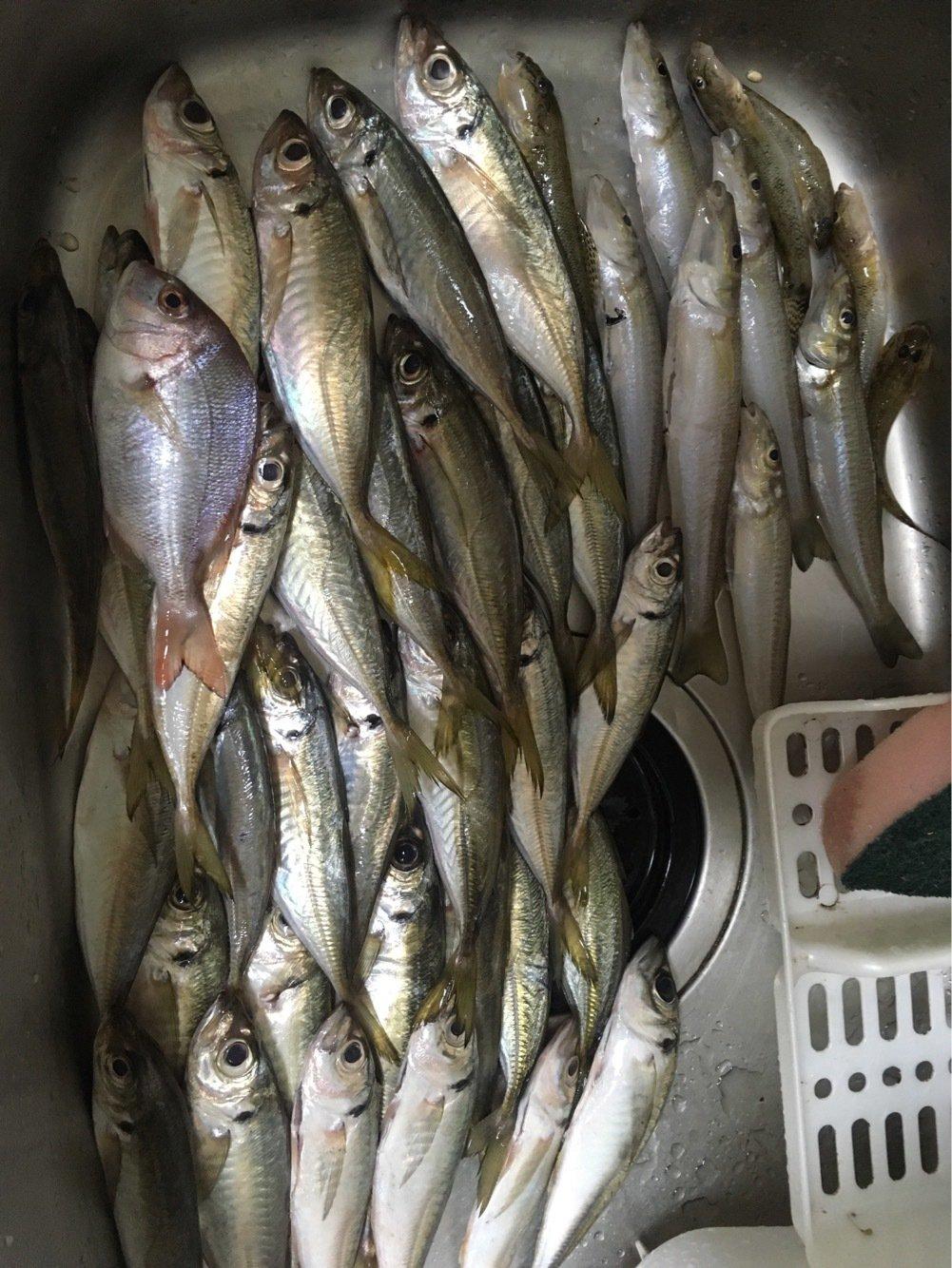 いっちーさんの投稿画像,写っている魚はアジ