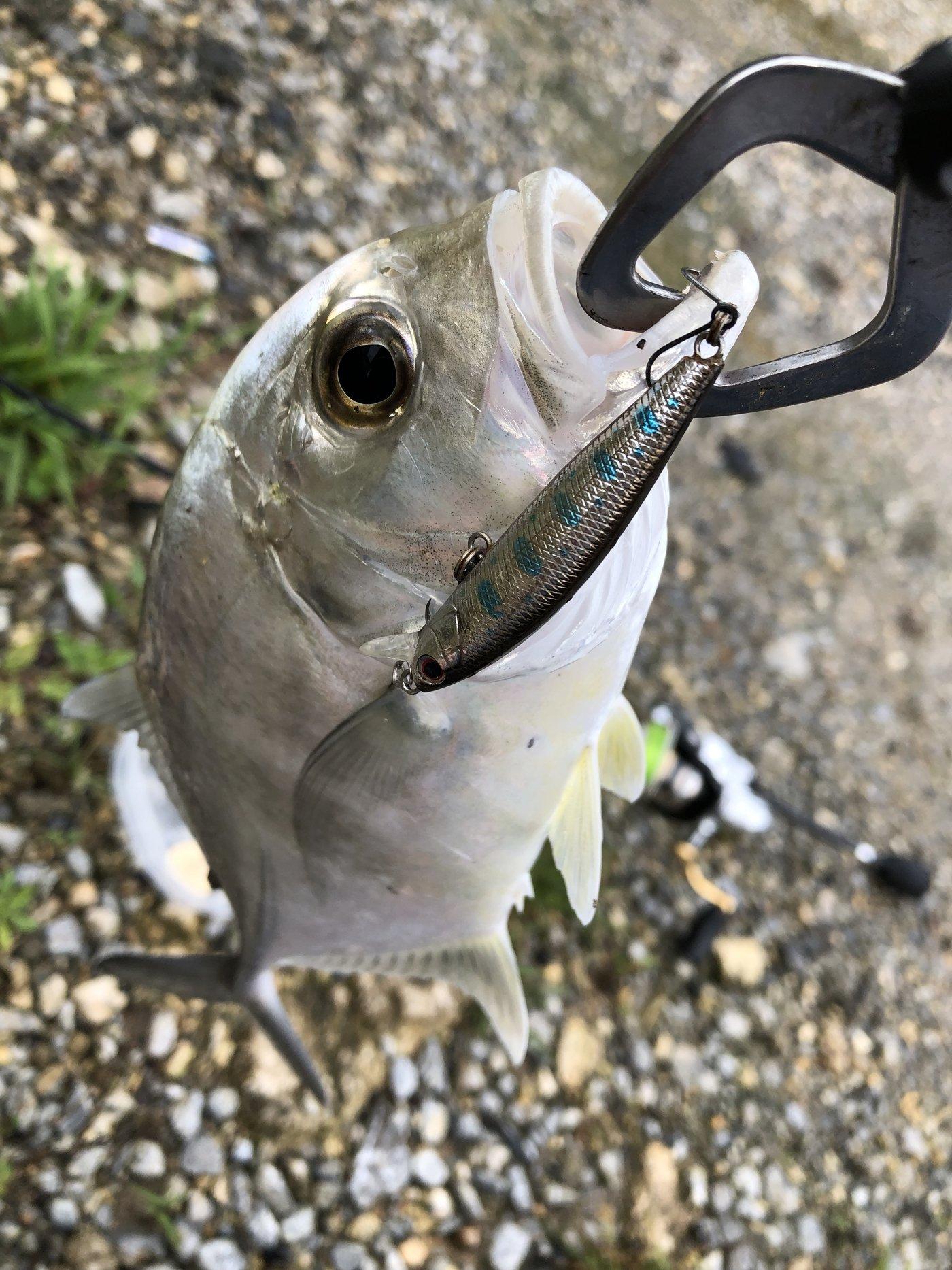 yoshiさんの投稿画像,写っている魚はロウニンアジ