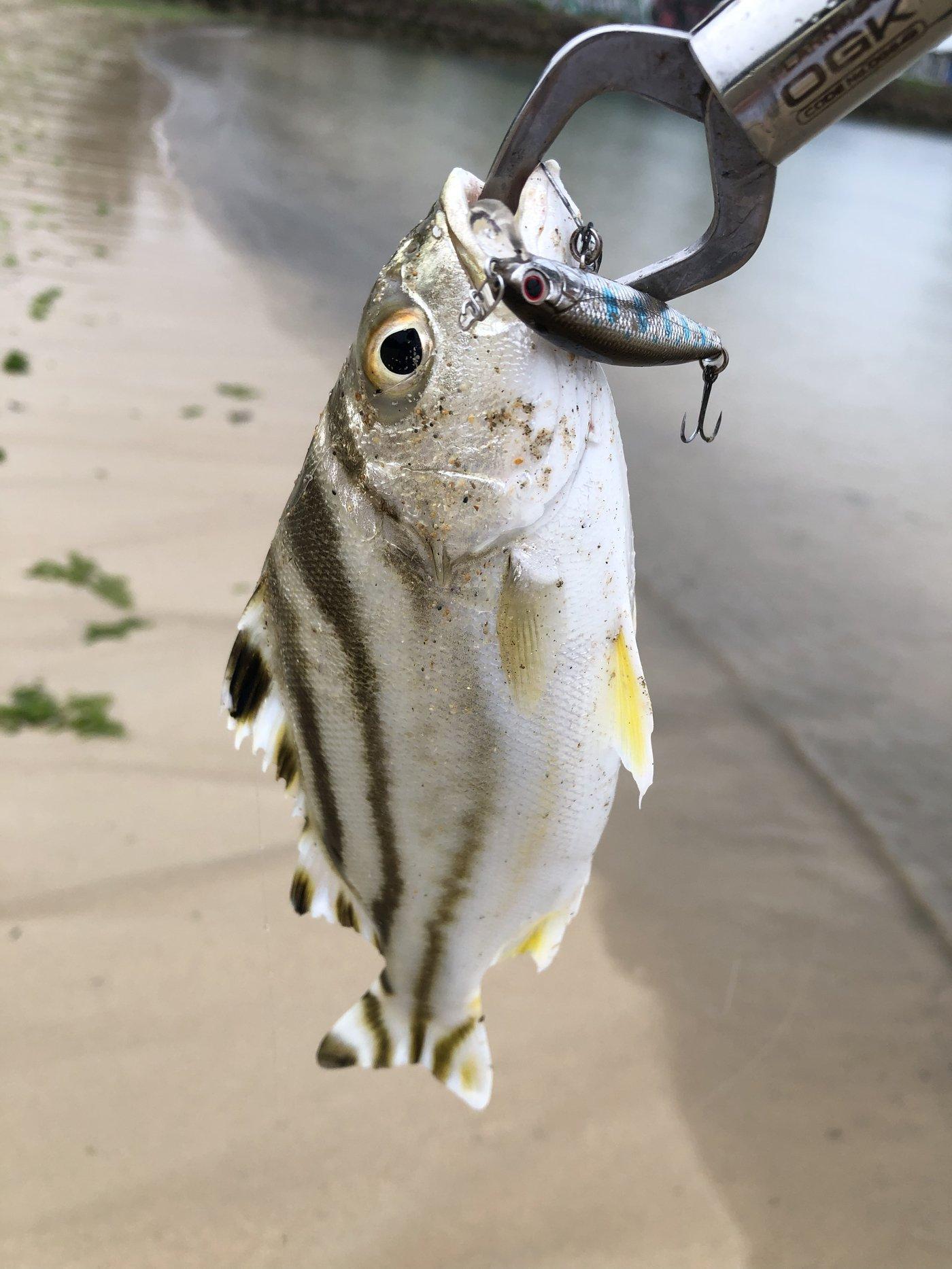 yoshiさんの投稿画像,写っている魚はコトヒキ