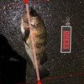 にく@マイスターさんの神奈川県でのメバルの釣果写真