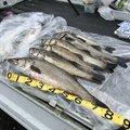 たっかー@さかな狩人さんの京都府舞鶴市でのスズキの釣果写真