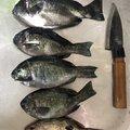 よっきーさんの静岡県湖西市でのマサバの釣果写真