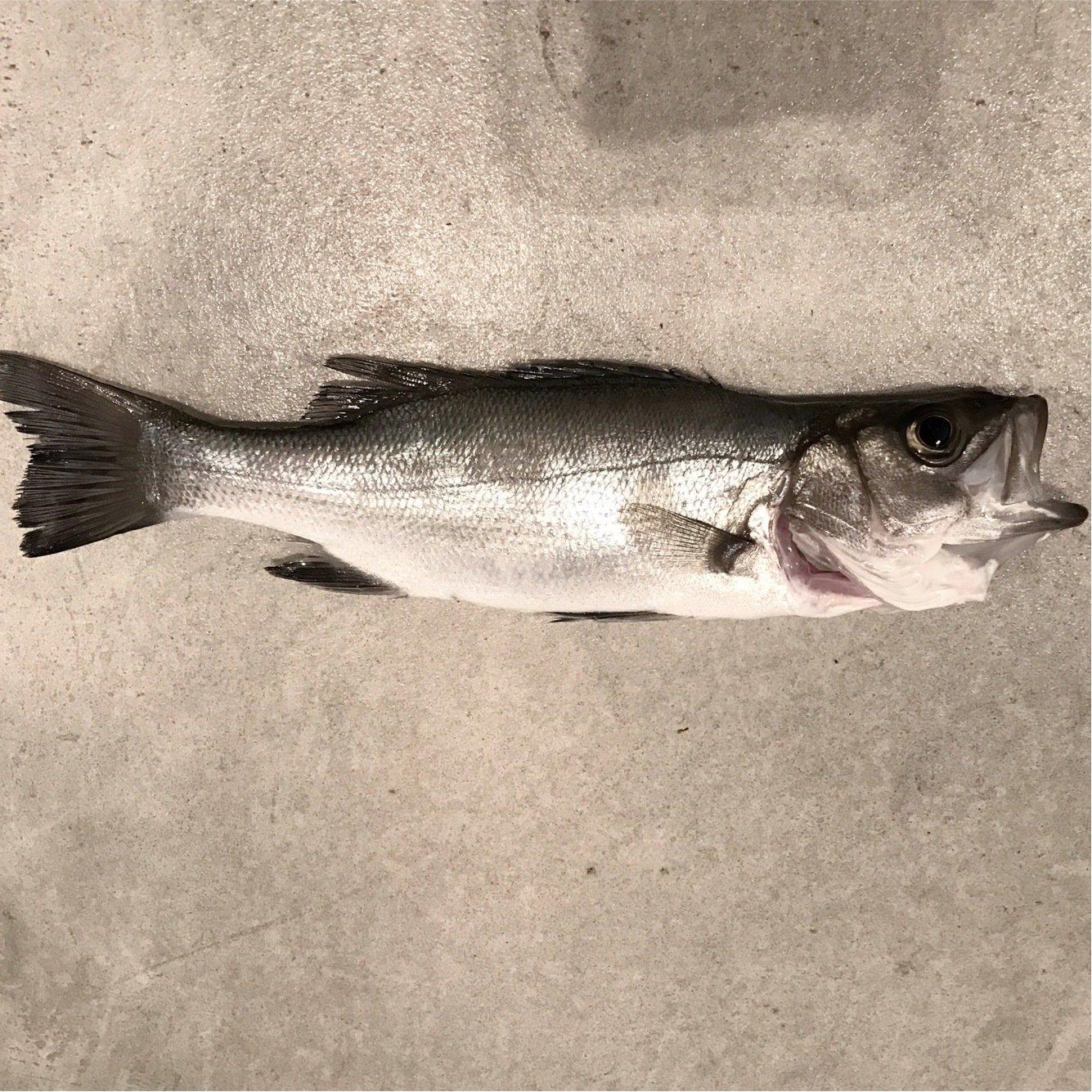 lisukeさんの投稿画像,写っている魚はスズキ